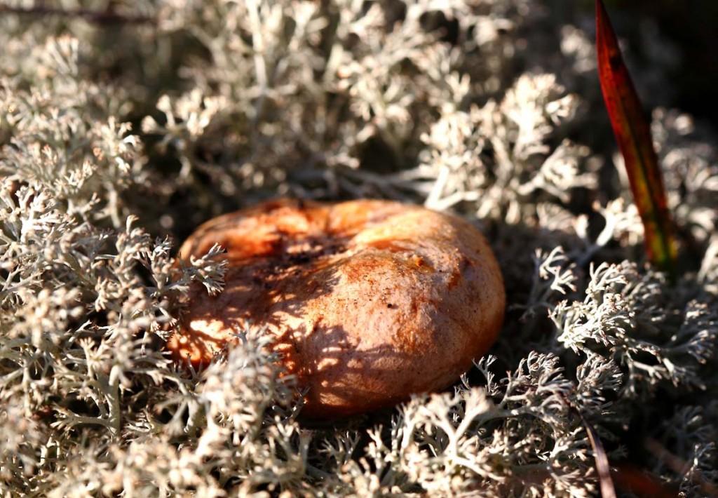 Рыжики в Ковровском лесу 01