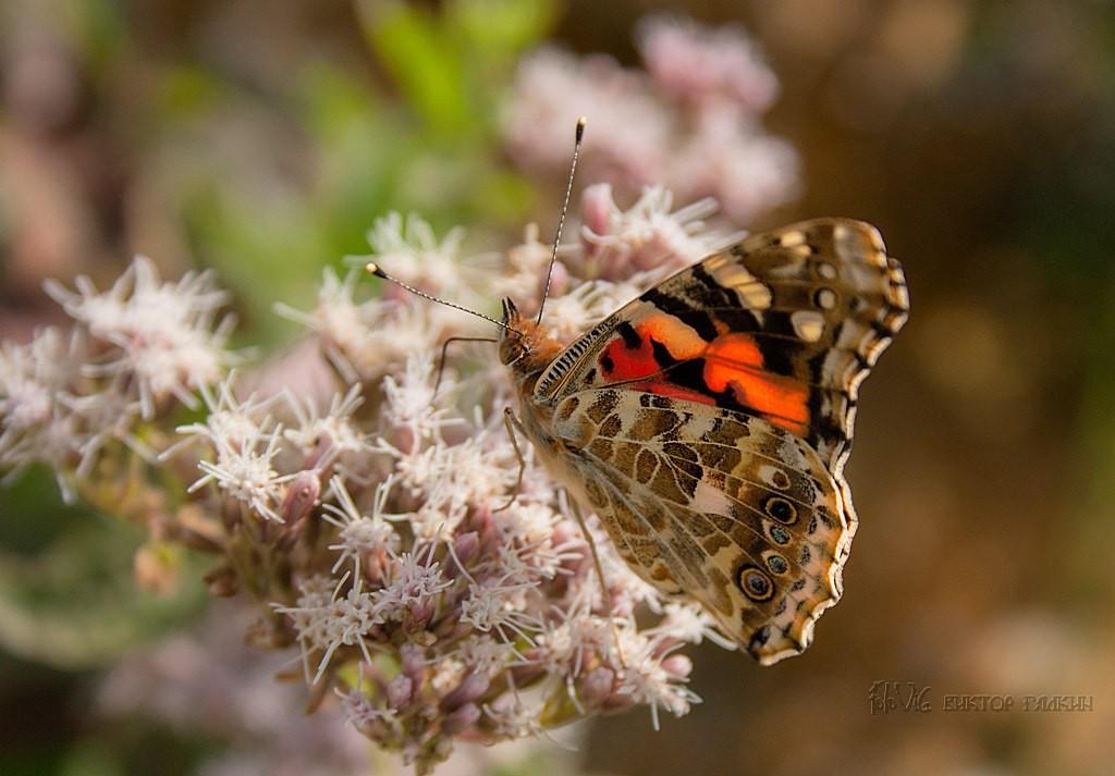 Бабочки! Много бабочек! 03