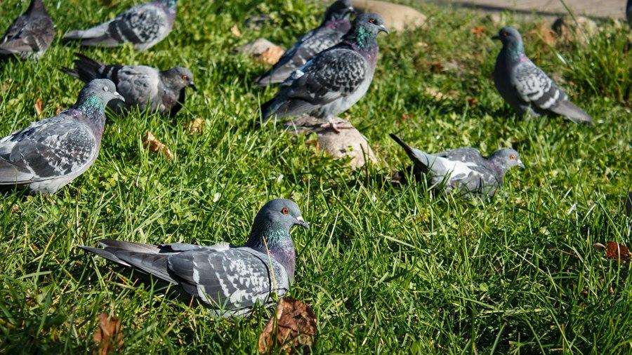 Владимирские голуби