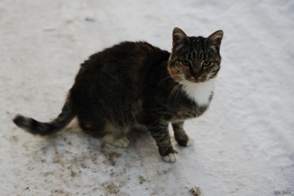 Борисо-Глебская кошка 01