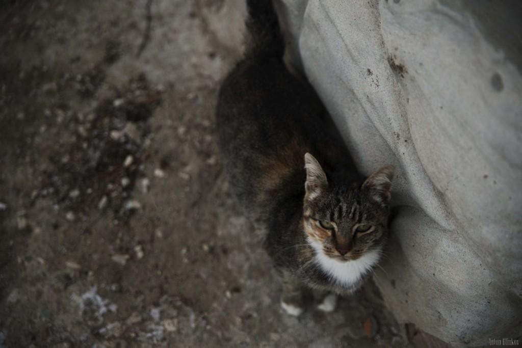Борисо-Глебская кошка 02