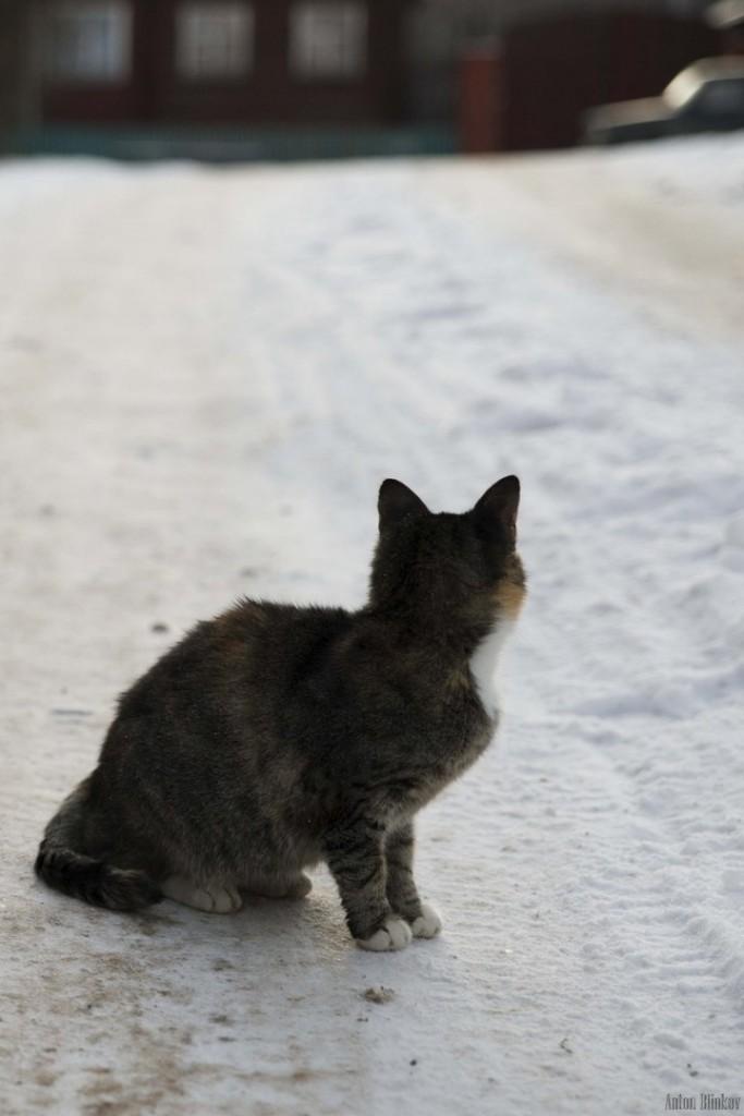 Борисо-Глебская кошка 03