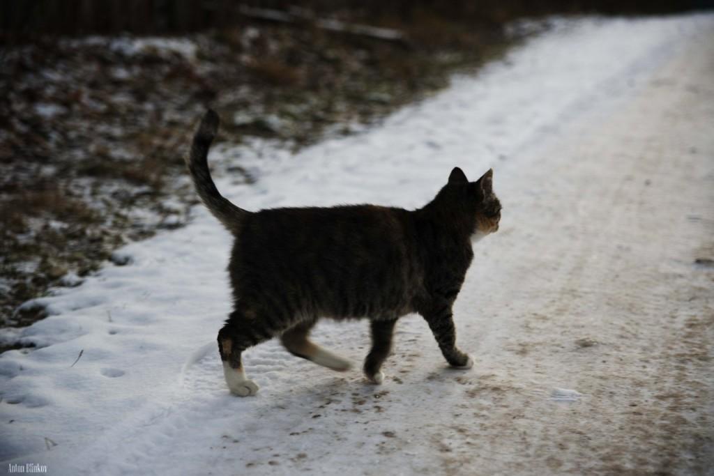 Борисо-Глебская кошка 04