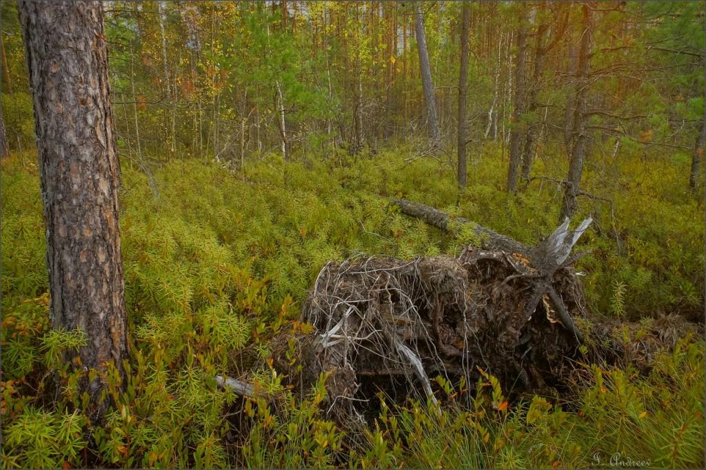 В октябрьском усвятском лесу (Камешковский район) 03