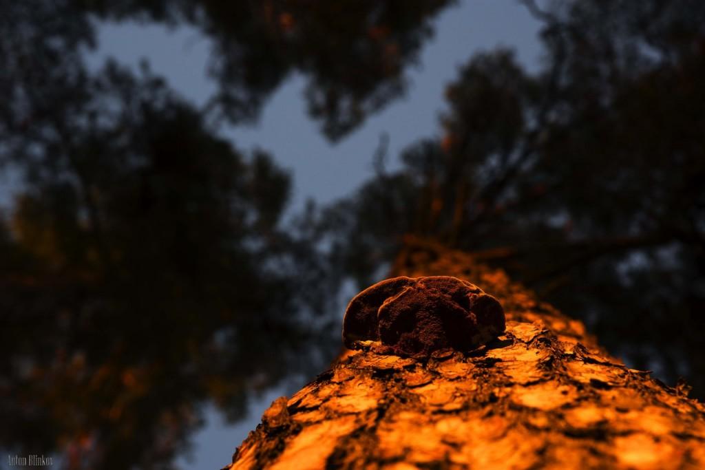 Ноябрьский закат в сосновом бору 02