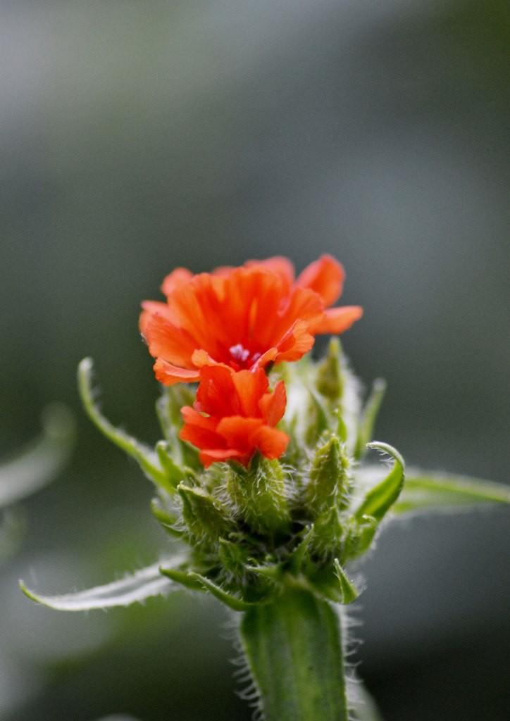 Дачные цветы Мурома 04