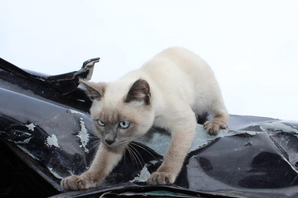 Коты Владимирской области 16