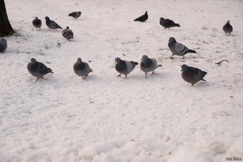 Местные голуби. Вред или польза 01