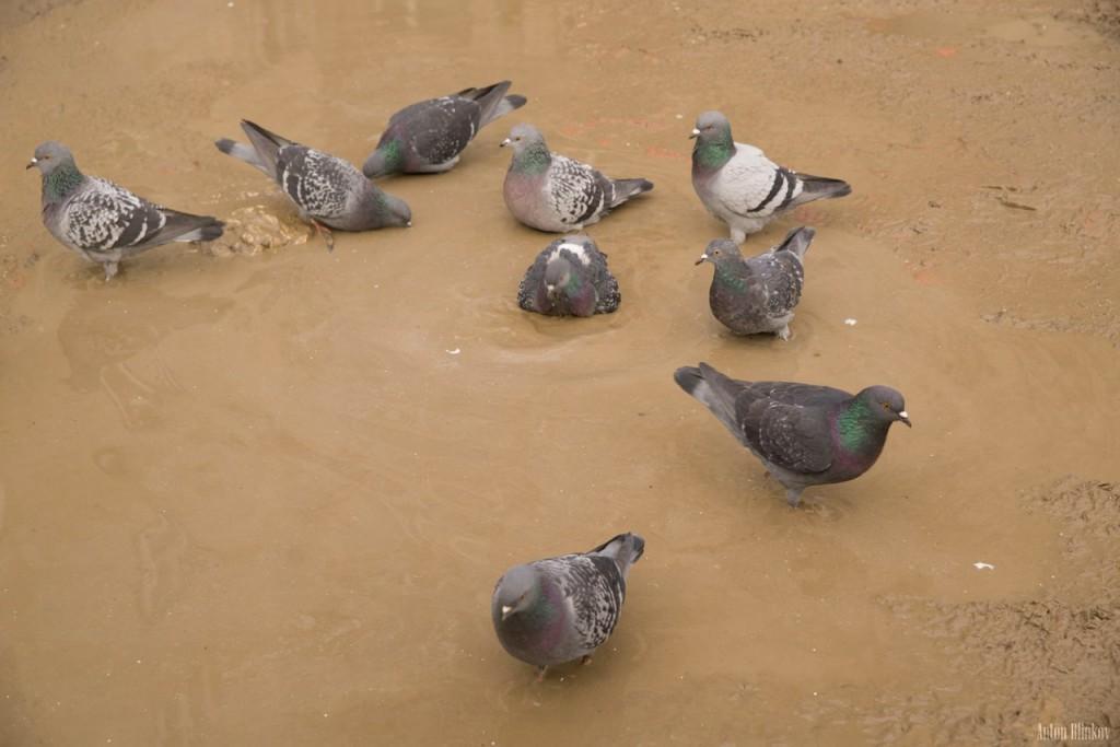 Местные голуби. Вред или польза 03