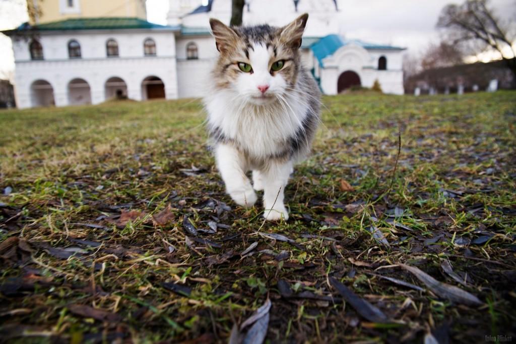 Монастырская кошка. г. Киржач 01