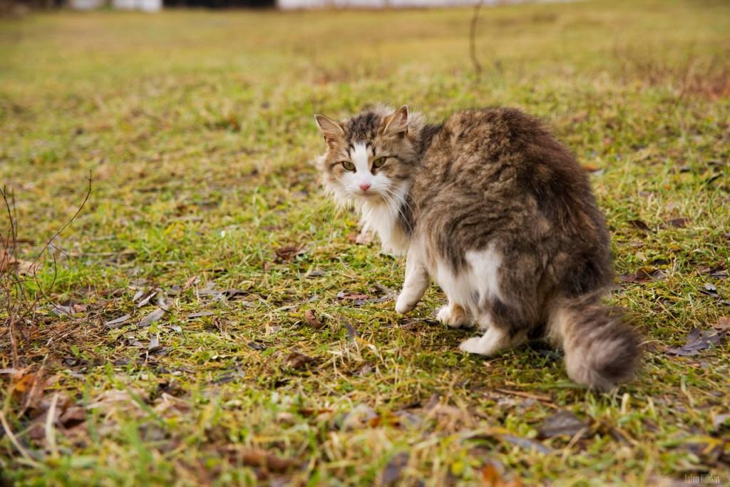Монастырская кошка. г. Киржач 04