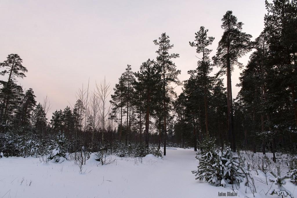 Владимирская область. Вечерний лес 02