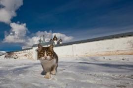 Гигантский гороховецкий кот выходит из ворот