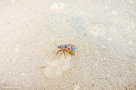 Клоп-солдатик — одно из самых первых насекомых, появляющихся весной
