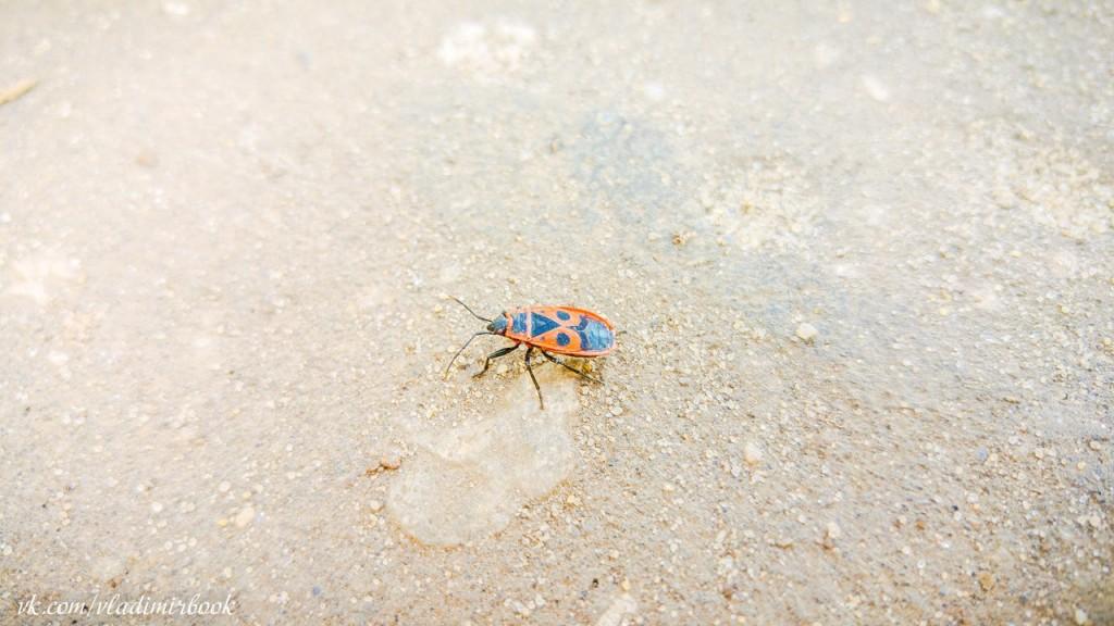 Клоп-солдатик - одно из самых первых насекомых, появляющихся весной