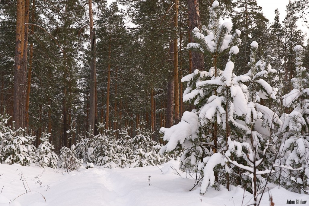 Лес под снежным покровом 03