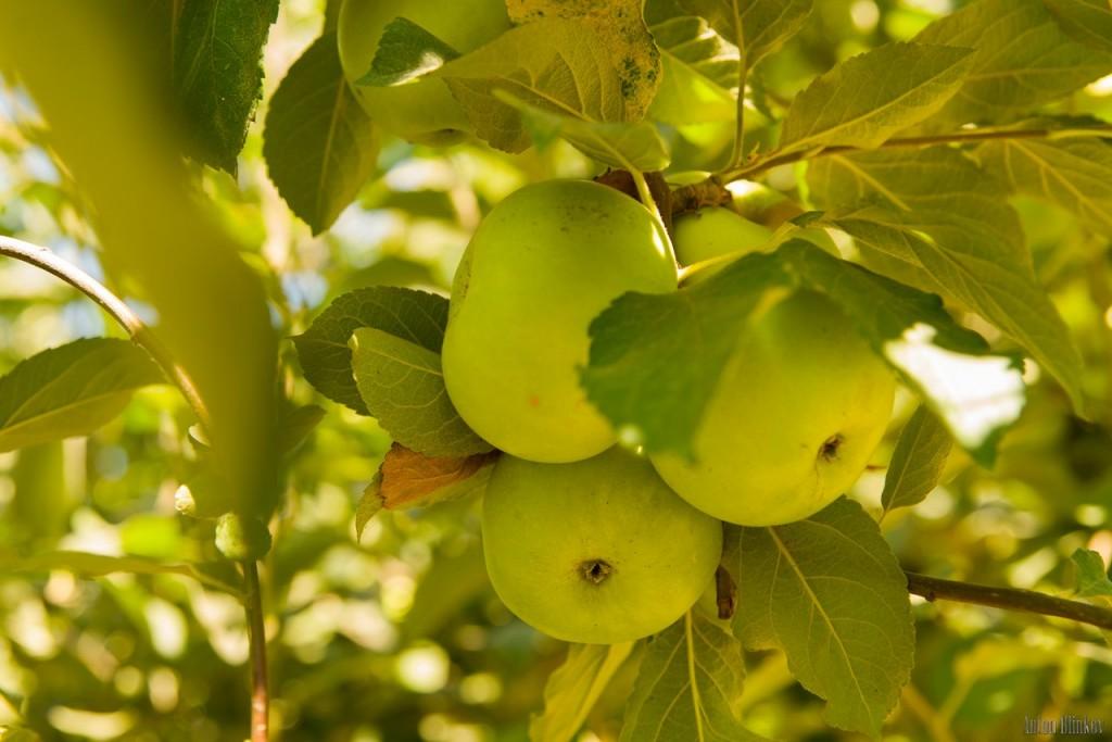 Летние яблоки 01