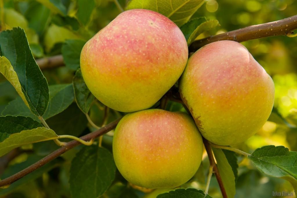 Летние яблоки 02
