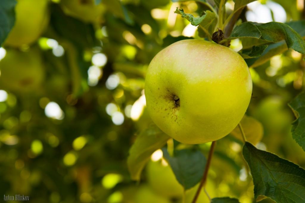 Летние яблоки 03