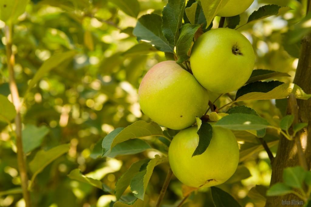 Летние яблоки 04