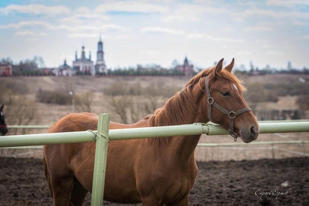 Красивые и грациозные суздальские кони 03