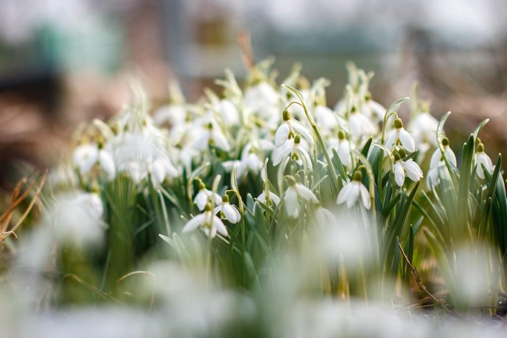 Первые весенние цветы 01