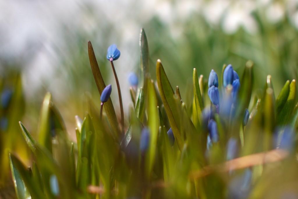 Первые весенние цветы 04