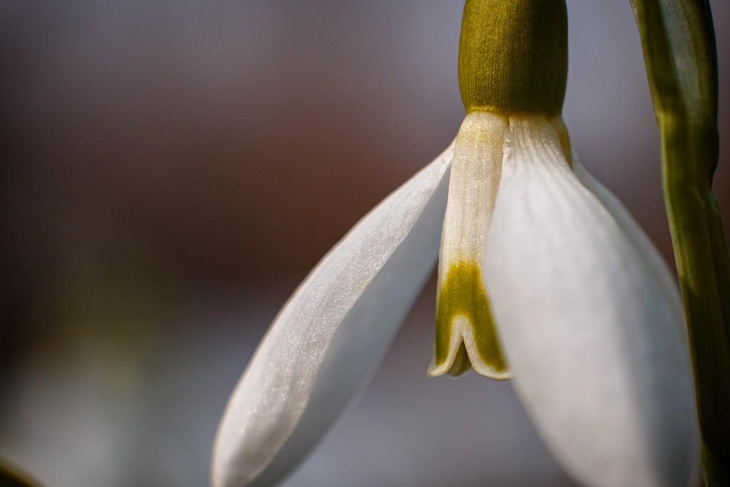 Первые весенние цветы 08
