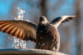 Купание голубков в парке Липки