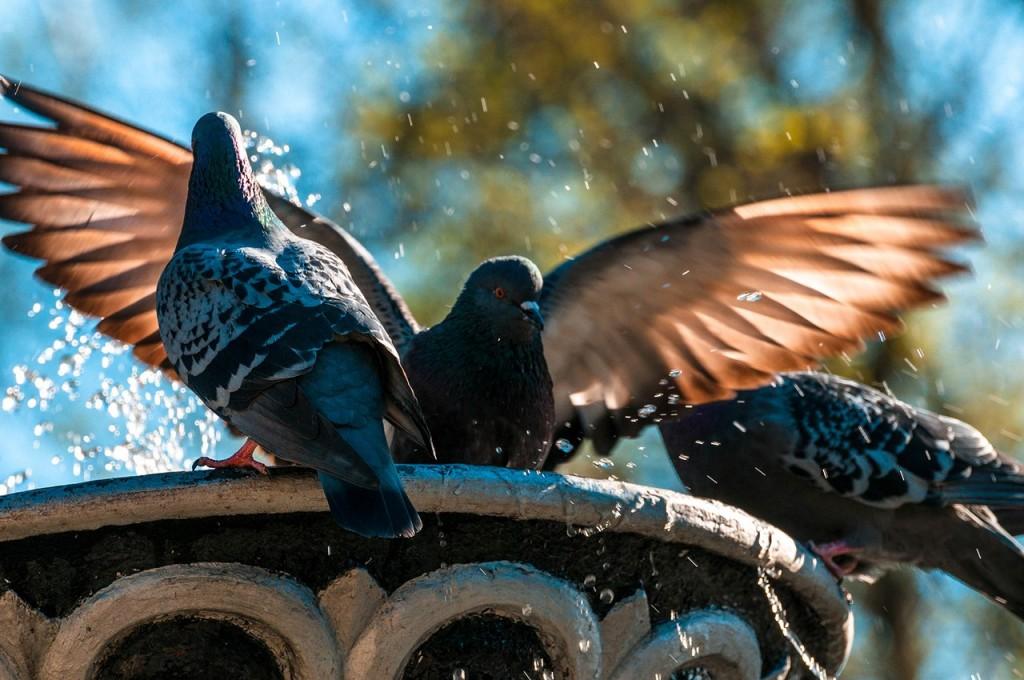 Прекрасные голубки 02