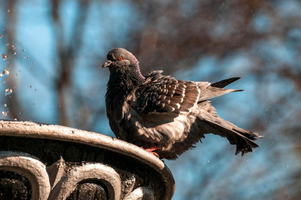 Прекрасные голубки 05