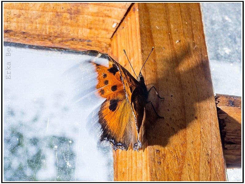 Бабочки Киржачского района 03