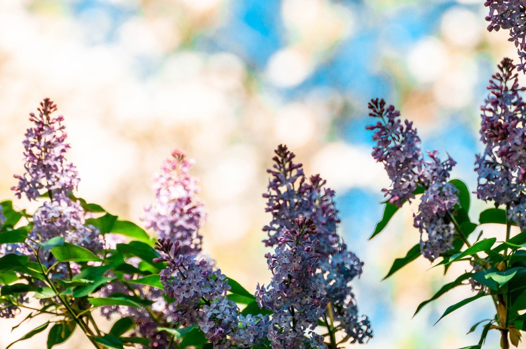Весенние цветы Бориса Пучкова 06