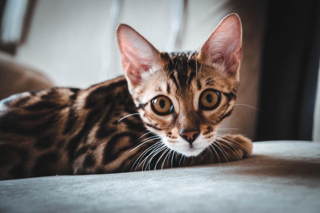 Владимирская кошка Нюша 04