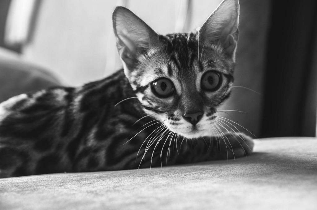 Владимирская кошка Нюша 05