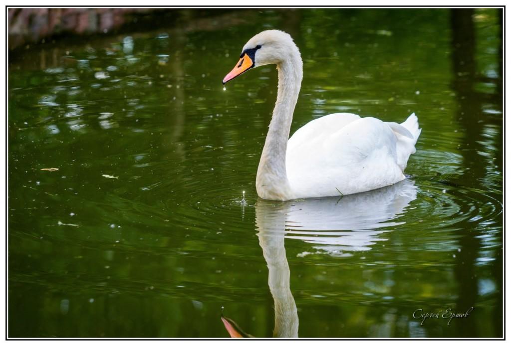 Владимирские лебеди