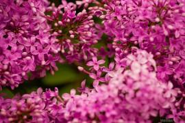 Во Владимирской области сирень цветет в июне