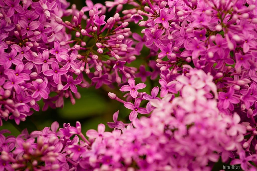 Во Владимирской области сирень цветет в июне 01