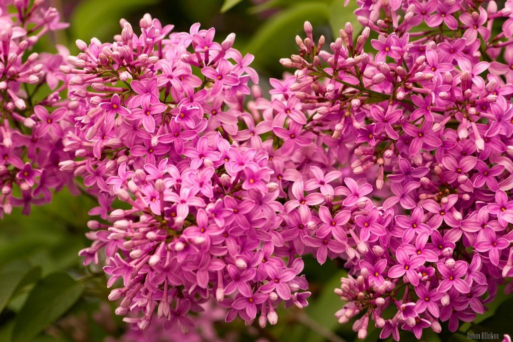 Во Владимирской области сирень цветет в июне 02