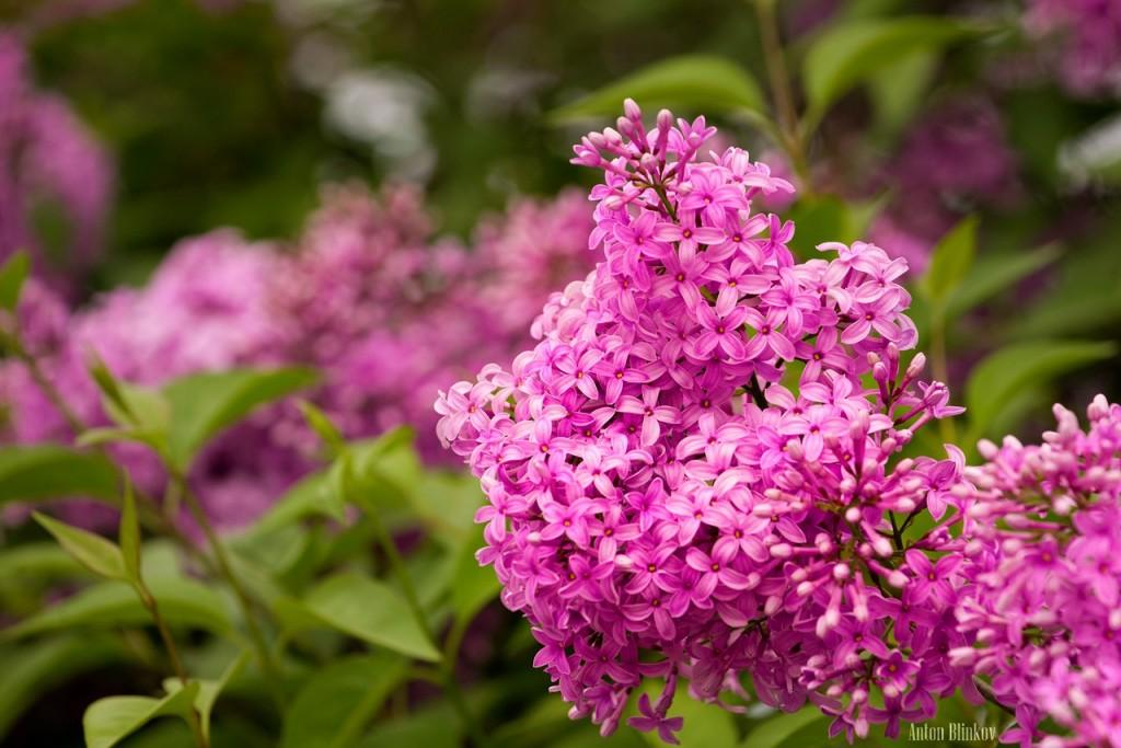Во Владимирской области сирень цветет в июне 03