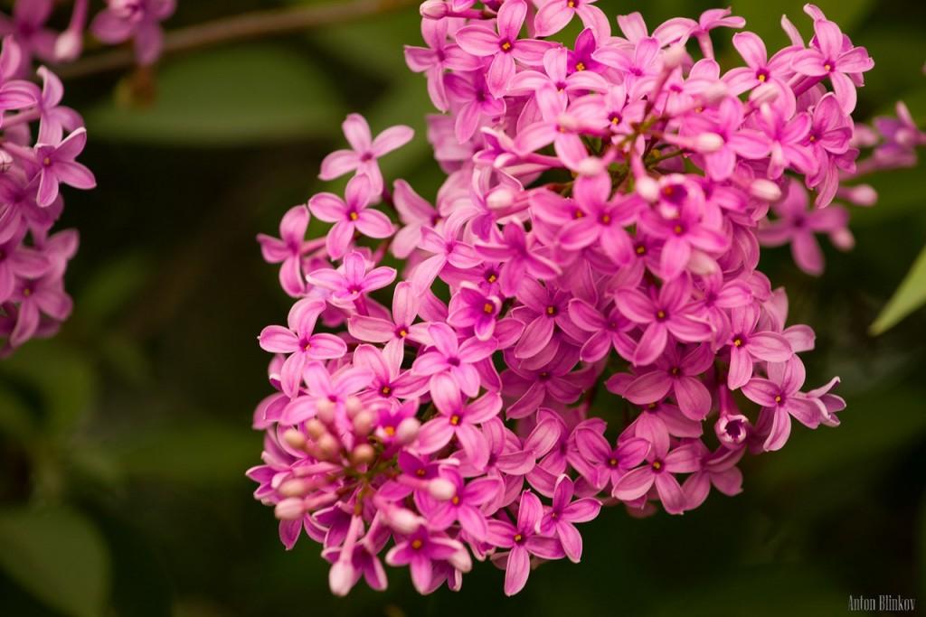 Во Владимирской области сирень цветет в июне 04