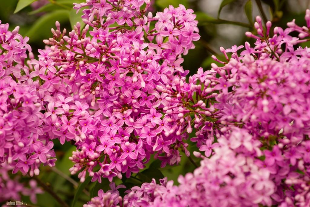 Во Владимирской области сирень цветет в июне 05