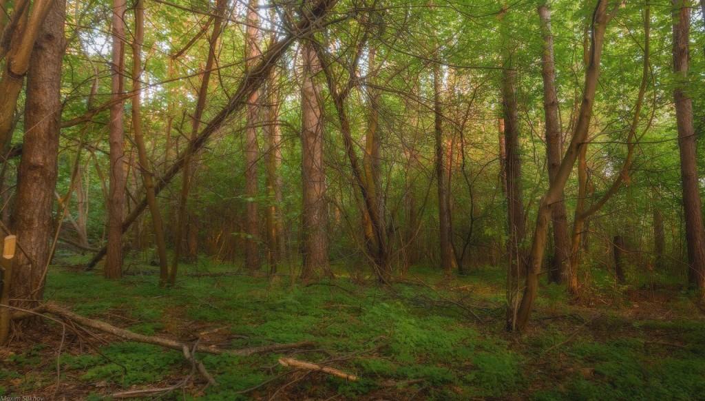 Гуща леса у берега Исаевской плотины г.Вязники, Владимирская обл 02