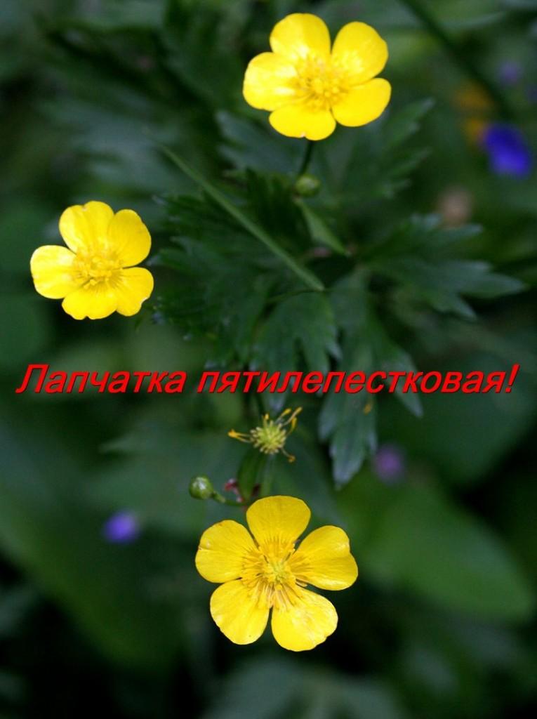 Калган (Цветы Владимирского края) 06