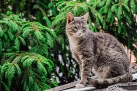 Кот владимирский, садовый