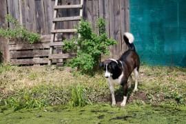 Пёс по кличке Рэкс в Курлово