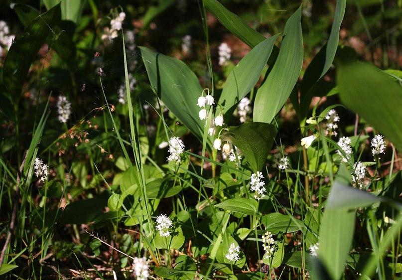 Цветы ковровского леса. Майник двулистный 01