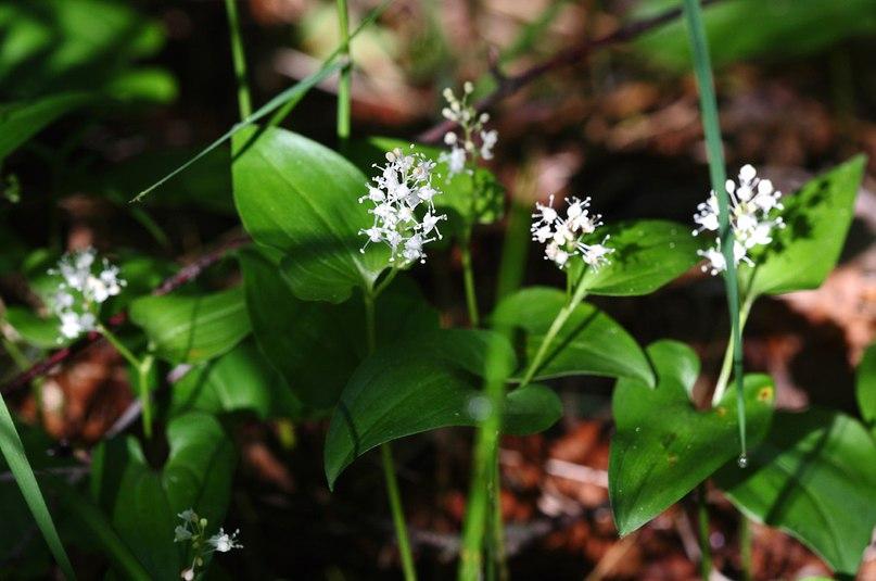 Цветы ковровского леса. Майник двулистный 04