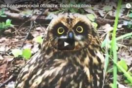 Птицы Владимирской области: Болотная сова