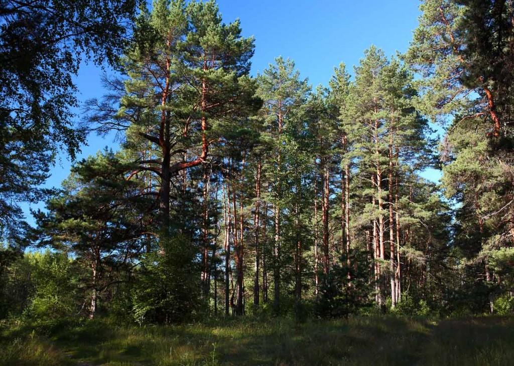 Воскресное утро в лесу 04